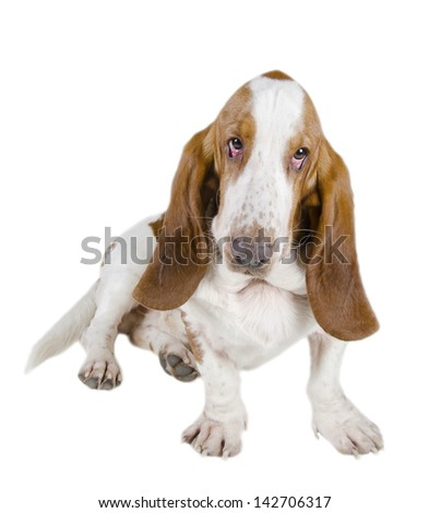 Funny-looking Basset Hound (isolated on white) - stock photo