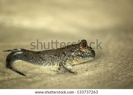 Funny looking Mud Skipper - stock photo