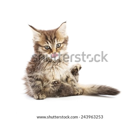 funny maine coon isolated on white - stock photo