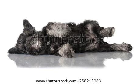 Funny miniature schnauzer puppy sleeping - stock photo