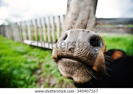 Funny nose of cow - stock photo