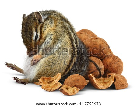 Funny overeating chipmunk with nuts, diet concept - stock photo