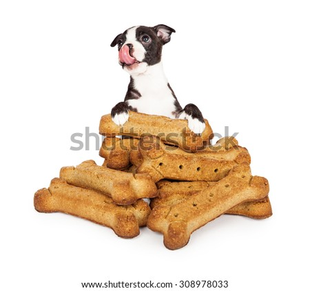 Funny photo of a cute little puppy standing behind a giant pile of dog biscuit treats and licking his lips - stock photo