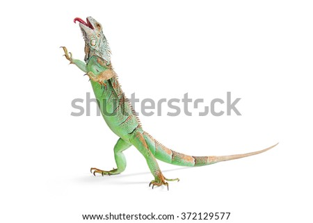 Funny photo of a green iguana lizard standing up on white background walking with tongue sticking out - stock photo