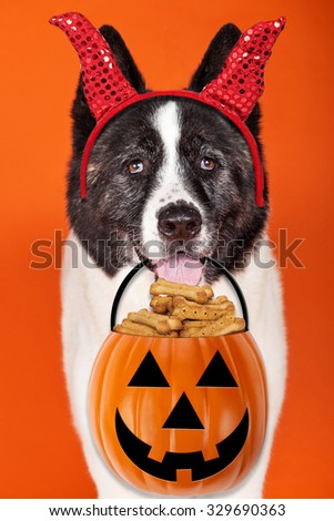 Funny photo of a large Akita breed dog wearing devil horns carrying a jack-o-lantern pumpkin container filled with treats - stock photo