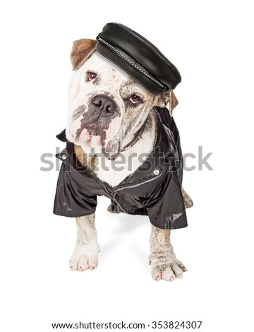 Funny photo of a large Bulldog breed guard dog wearing leather hat, spiked collar and jacket. - stock photo