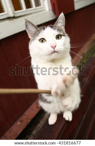 funny photo of siberian cat playing stretch out paw - stock photo
