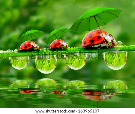 Funny picture from nature. Little ladybugs with umbrella walking on the grass.  - stock photo
