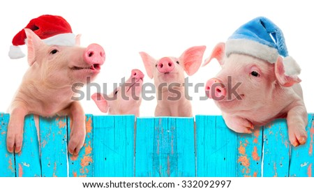 Funny piglet in a cap of Santa Claus hanging on the fence. Studio photo. Isolated on white background. Collage for congratulations farmers. - stock photo