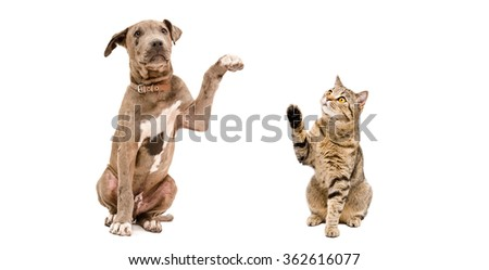 Funny Pitbull puppy and a cat Scottish Straight isolated on white background - stock photo