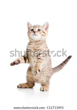 Funny playful cat isolated on white background - stock photo
