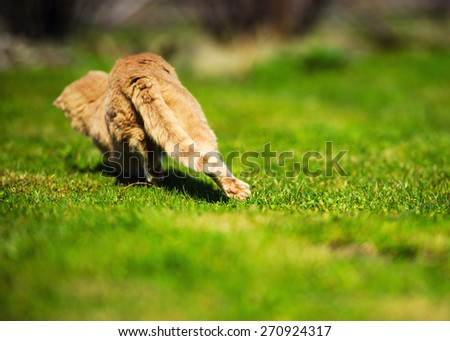 Funny playful red-haired cat runs on green grass. Focus on hind legs - stock photo