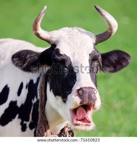 Funny portrait of cow on a green background - stock photo