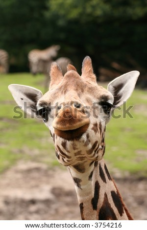 Funny portrait of giraffe - stock photo