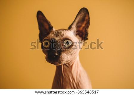 Funny portrait of hairless sphynx or sphinx baby cat kitten  - stock photo