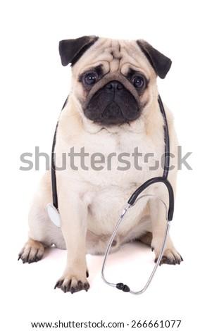 funny pug dog with stethoscope isolated on white background - stock photo