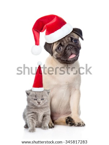 Funny pug puppy sitting and tiny scottish cat in red christmas hats. isolated on white background - stock photo