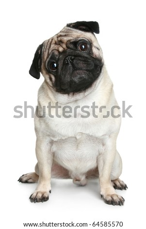 Funny pug puppy sitting on a white background - stock photo