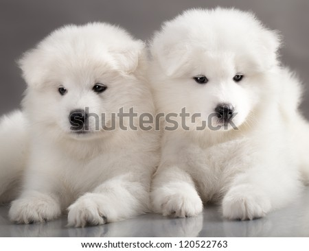 funny puppies of Samoyed dog (or Bjelkier) - stock photo