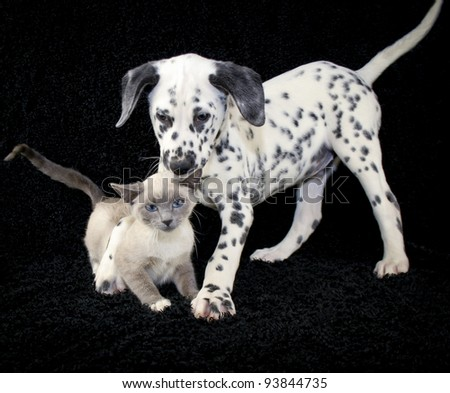 Funny puppy and kitten photo with a not so happy kitten playing with a Dalmatia puppy that just wants to be friends. - stock photo