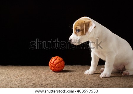 Funny puppy playing with a ball. Happy pet enjoying their life. Small cute dog background with space for text or design - stock photo
