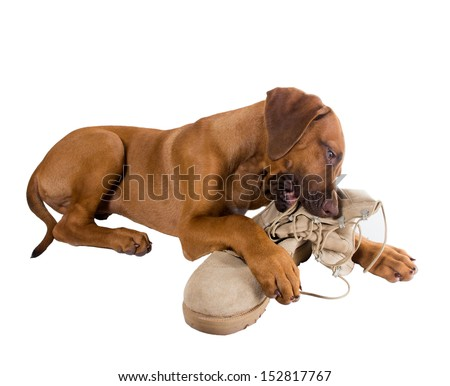 Funny Puppy Rhodesian Ridgeback hugs army boots of his master - stock photo