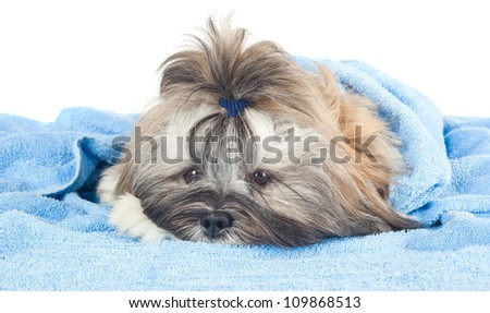 Funny puppy with a blue towel isolated on white background - stock photo