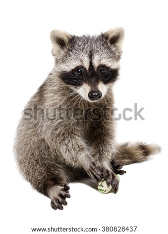 Funny raccoon playing rawhide bone isolated on white background - stock photo