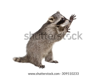 Funny raccoon standing on his hind legs isolated on a white background - stock photo