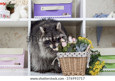funny raccoon with flowers in home interior - stock photo