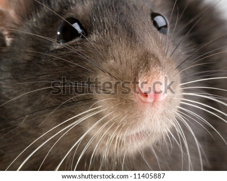 funny rat close-up portrait on white background - stock photo