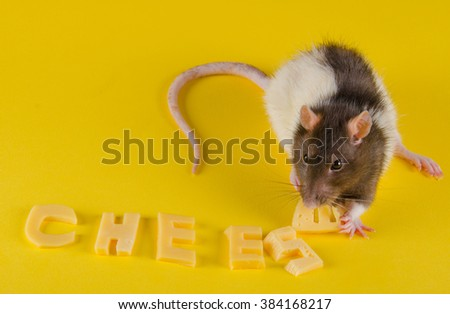Funny rat eating the last letter of the word CHEESE (made of cheese) on a bright yellow background - stock photo