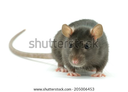 funny rat  isolated on white background - stock photo