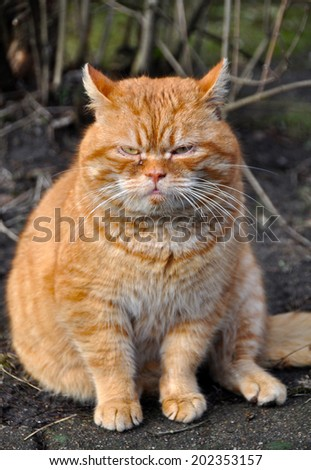 Funny red cat. Similar to Garfield  - stock photo