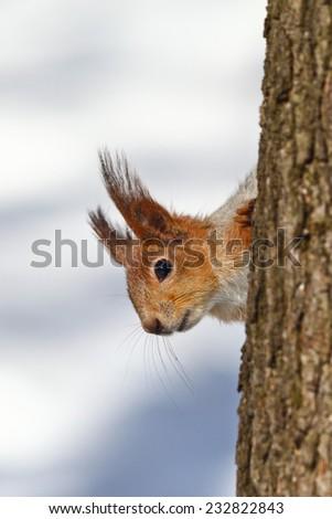 Funny Red squirrel (Sciurus vulgaris) on winter tree. - stock photo