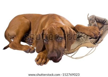 Funny Rhodesian Ridgeback puppy chewing on the laces of his army boot host - stock photo