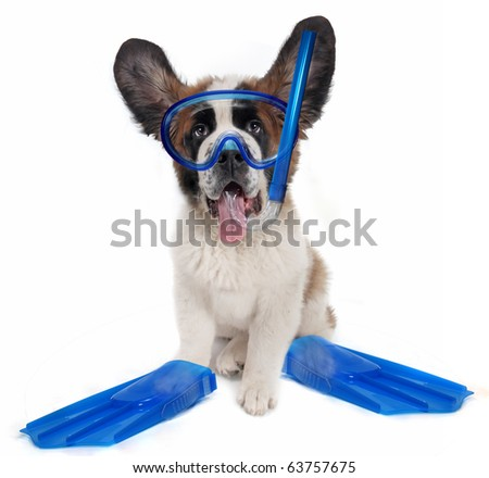Funny Saint Bernard puppy dog wearing snorkeling gear. Humorous composite image. - stock photo