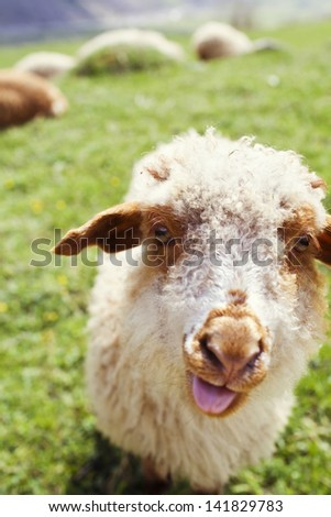 Funny sheep sticking out tongue on the green meadow - stock photo