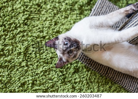 Funny siamese cat portrait in her playground. - stock photo