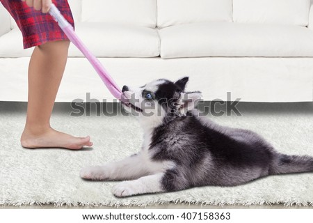 Funny siberian husky puppy playing with a boy and biting a sock at home - stock photo