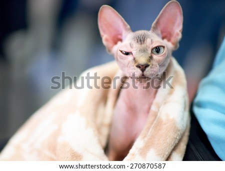 funny sphynx cat squints one eye - stock photo