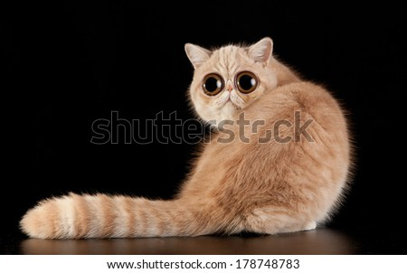 funny surprised cat. Exotic domestic cat on black background. - stock photo