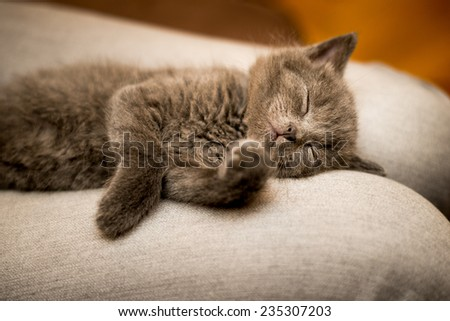 funny sweet little kitten, a Briton - stock photo