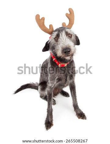 Funny terrier crossbreed dog wearing Christmas reindeer antlers - stock photo