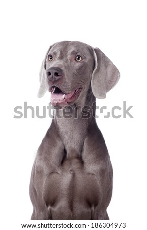 Funny Weimaraner Dog isolated on white background - stock photo