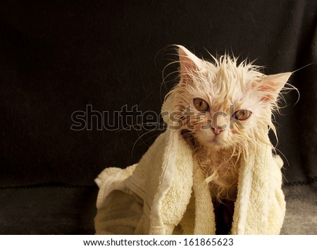 Funny wet kitten - stock photo