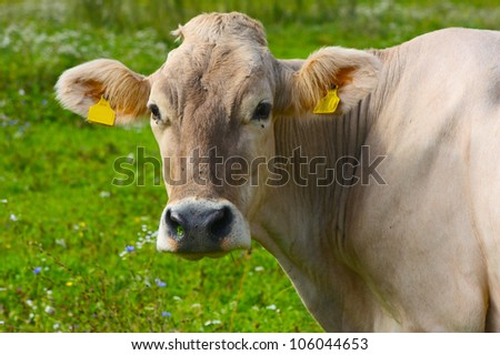 funny white cow portret - stock photo