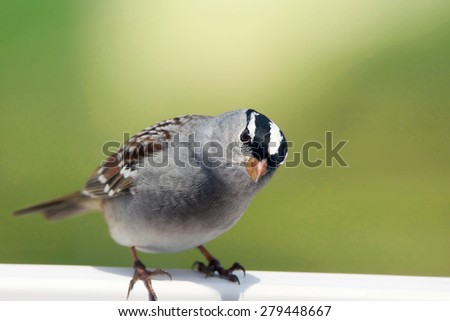 Funny White-crowned sparrow, Zonotrichia leucophrys, looking - stock photo