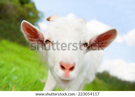 Funny white goat, close up  - stock photo