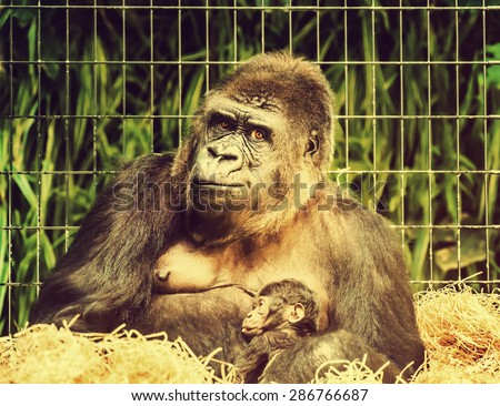 Funny wildlife scene with a mother gorilla holding her little baby with funny expression. Mother care and motherhood concept. Toned. - stock photo